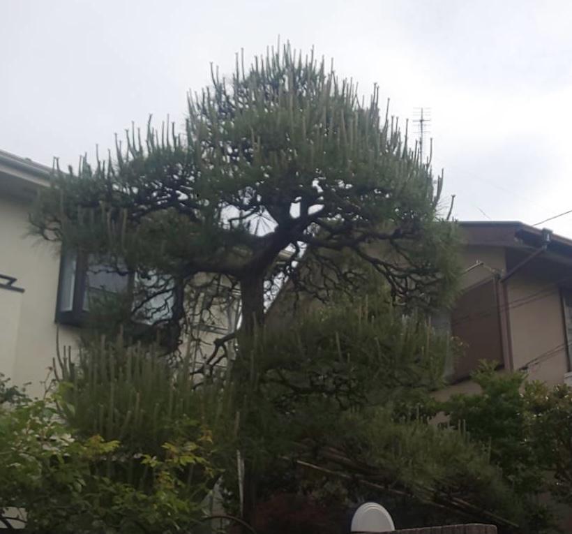 施工事例_202105松剪定1B|稲葉造園